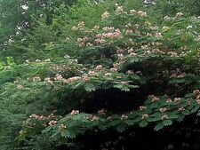 Pink Mimosa tree Seeds (albizia julibrissin)Fast growing Fragrant Drought Tolera