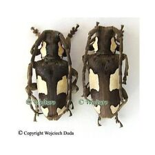Mimocalothyrza bottegoi - pair, rare, Tanzania, A2