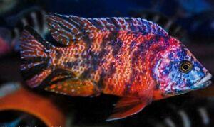 OB PEACOCK ORANGE BLOTCH AULONOCARA AFRICAN CICHLD Live Fish Tropical Aquarium