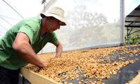 Costa Rican Tarrazu Gourmet Coffee Beans Fresh Roasted Medium 2 / 1LBS Bags