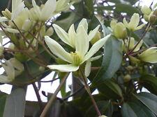 Climbing Plant- Flowering Clematis Variety 'Armandii' - Evergreen Clematis