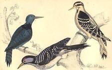 Pájaros carpinteros: Negro Botonadura Prenda; peludo; Rojo-cockaded Carpintero. orfebre; 1870