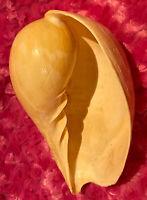 Large Genuine Nude Indian Volute Melo Melo Bailer Shell Seashell Nautical Decor