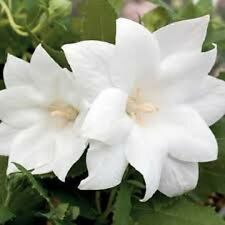 40+ White Platycodon Double Balloon Flower Seeds / Grandiflorus / Perennial