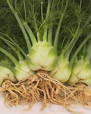Vegetable - Fennel - Sweet Florence - 600 Seeds