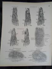 #36 Rare Vintage Old Print From Descriptive Atlas of Anatomy 1880  Medical Retro