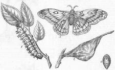 CANADIAN SILKWORM(ATTACUS CECROPIA). Caterpillar, antique print, 1863