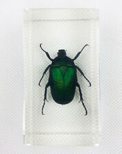 Real Green Rose Chafer Beetle Insect Specimens In Lucite Paperweight Crafts