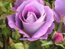 BLUE FOR YOU - 4lt Potted Floribunda Garden Bush Rose - Purple/Lilac, Fragrant