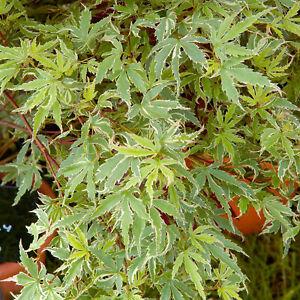 Acer palmatum Butterfly - Japanese Maple   Deciduous Garden Plant Tree in Pot