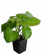 Betel Leaf (Magai Paan) Live Plant