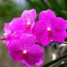 Vanda Siriporn 'Pink', orchid plant