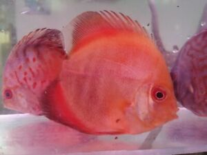 Pigeon Blood Discus-Live Tropical Fish
