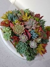 Succulents - Beautiful Fresh Plant Cuttings x10** LIMITED TIME BONUS 3 cuttings*