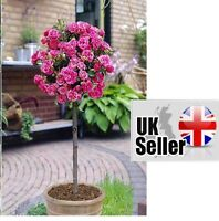 50 Seeds Pink Rose Tree Outdoor Garden Flower Seeds Fragrant Plant Unique Pot UK