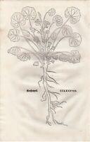 FUCHS  1543 Antique Woodcut Print - MALVA HOLLYHOCK Botanical Herbal *VERY RARE*