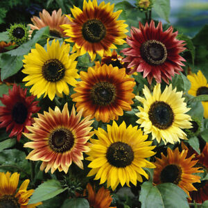 10 ORGANIC Sunflower AUTUMN BEAUTY Seeds - Easy For Kids To Grow - Free Post