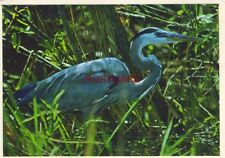 Continental-size GREAT BLUE HERON IN THE FLORIDA EVERGLADES NATIONAL PARK