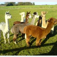 Alpaca Fleece 100% for spinning or felting 1kg mixture