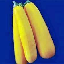 Squash Seed,Golden Zucchini Squash, Heirloom, Organic, 100 Seeds, Non Gmo
