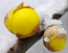 Wintersweet Chimonanthus 20 PCS  Deciduous Shrub Bonsai Tree Home Garden Plants