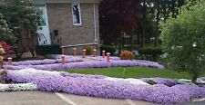 8 Creeping Phlox Lavender Live Perennial Deer Resistant 4 Yrs old Bare Root