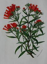 BOTANICAL - antique flower print, AGALMYLA STAMINEA, Horto van Houtteano c.1860