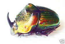 Scarabaeidae/Phanaeus mexicanus (m) - Mexico