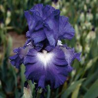 "Speeding Again Iris Plant 4"" Pot | Repeat Blooming Fragrant Blue Violet Flowers"