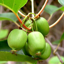 "Mini Kiwi ""Issai"" Actinidia arguta -selbstfruchtend- Pflanze 40-60cm Winterhart"