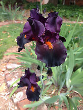 Tall Bearded TB Iris DRACULA'S KISS Dark red black Perennial Plant Rhzome