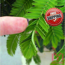 100 Shy Bashful Shrinking plant seed Mimosa Pudica sensitive sleepy plant