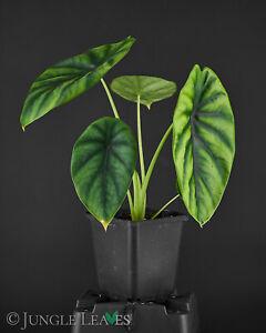 Alocasia clypeolata 'Green Shield' - Aroid Zimmerpflanze