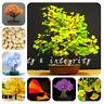 5 PCS Seeds Ginkgo Biloba Bonsai Mini Maidenhair Dwarf Tree Flowers Ornamental N