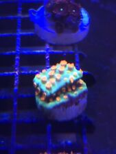 New listing Pop Corals Meteor ShowerWysiwyg Live Coral Frag - Pop Corals Candy Shop