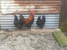 6 x French Copper Black Maran Large Fowl Hatching Eggs