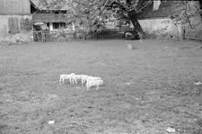 Negativ-Bauernhof-Münstertal-Breisgau-Hochschwarzwald-Schafe-1930er Jahre-1