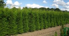 Thuja Brabant Hecke 8 x Lebensbaum 180-200 cm inkl. Versand 250,- €.