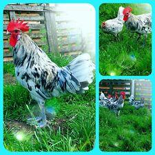 Bruteier von Bleu Bresse Gauloise in Splash Reinrassig ( hatching eggs )