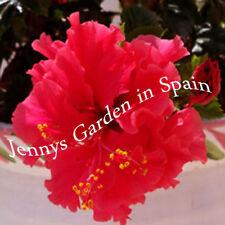 3 Steckhölzer inkl. Wurzelaktivator vom wunderschönen Hibiskus PRIDE OF HANKINS