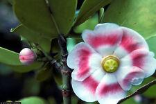 Clusia Rosea major autograph tree exotic balsam apple cuba native seed 25 Seeds
