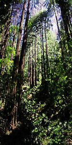 Bright Trail Redwoods III Fine Art Print Green Lavender Forest