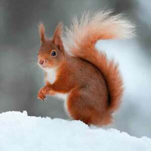 Red Squirrel Christmas Cards 8 Card Pk Charity The Wildlife Trusts