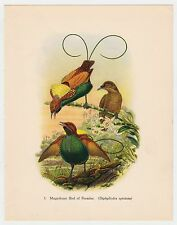 MAGNIFICENT BIRD OF PARADISE PLATE LITHO GOULD TROPICAL BIRDS vintage 1948 PRINT