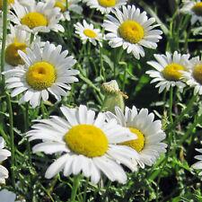 Oxeye Daisy Flower Seeds - Garden Seeds - Bulk