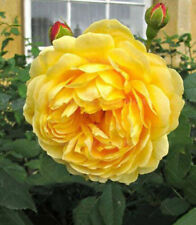 50Pcs free Shipping New Yellow Rose Flower Seeds Garden Plant Rose Flower Seed