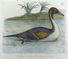 1794 Pintail Duck - Rémi WILLEMET Ornithologie engraving in fine hand color