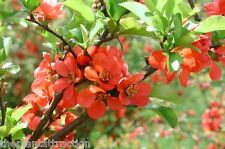 Chaenomeles Japonica 10 Seeds, Cold Hardy Bonsai Red Japanese Quince Shrub