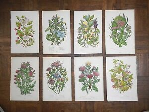 Antique Botanical Lithographs - Set of 8