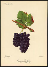 Antique Lithograph-GAMAY GEOFFRAY-GRAPE-WINE-Troncy-Viala-Vermorel-1910